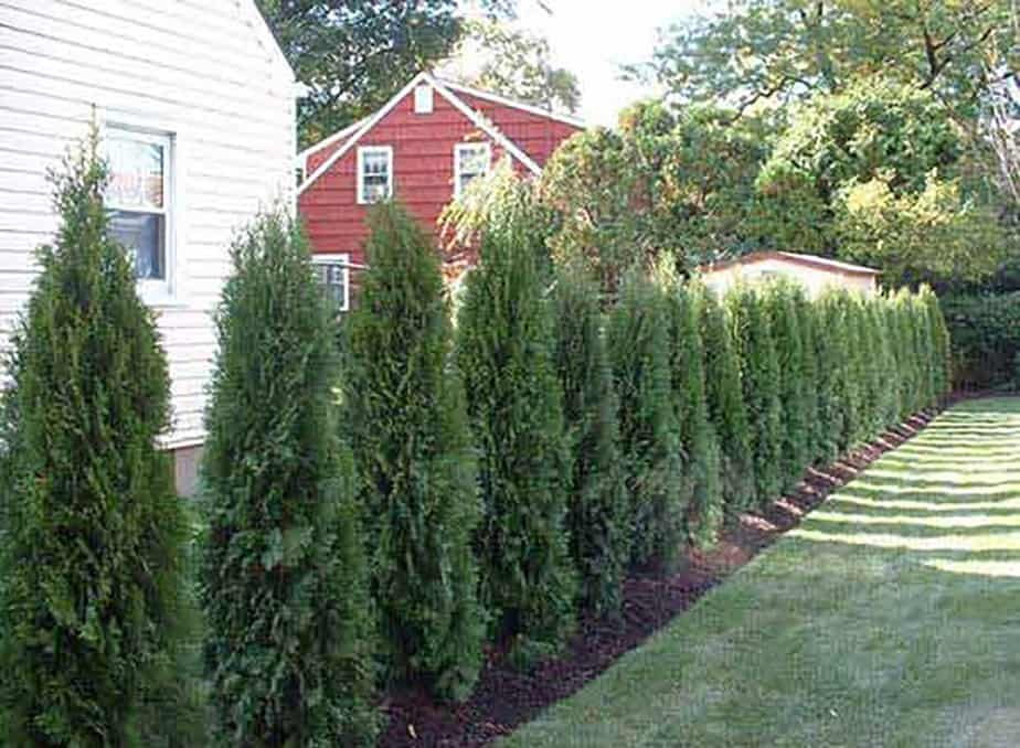 Evergreen wall to block wind
