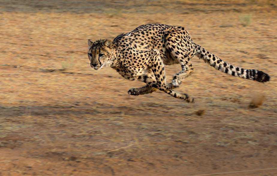 cheetah running full speed in Africa