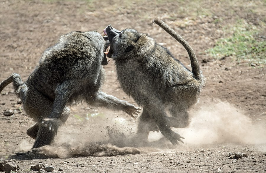 causes of disagreement in life with monkeys fighting